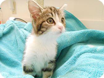 Domestic Mediumhair Kitten for adoption in Fountain Hills, Arizona - OTIS