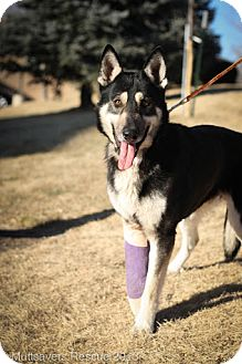 German Shepherd Dog/Husky Mix Puppy for adoption in Broomfield, Colorado - Hershey
