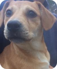 Labrador Retriever Mix Dog for adoption in Kingwood, Texas - Kenny