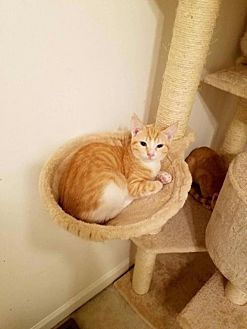 Domestic Shorthair Cat for adoption in Gilberts, Illinois - PYRO