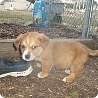 Adopt A Pet :: Shane - Rocky Mount, NC
