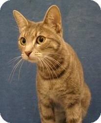 Manx Cat for adoption in Sacramento, California - Duchess
