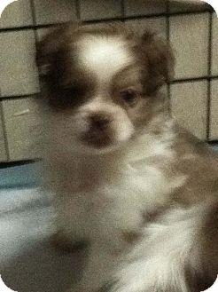 Pekingese/Pekingese Mix Puppy for adoption in Hazard, Kentucky - Skiddles