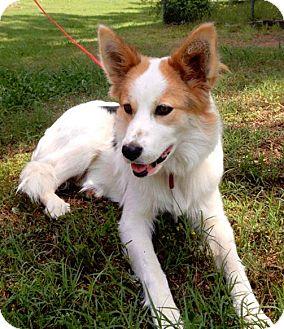 Border Collie Mix Dog for adoption in Manhasset, New York - Deliah