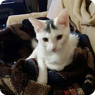 Domestic Shorthair Cat for adoption in Valley Park, Missouri - Arden