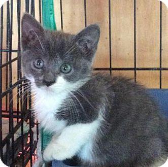 Domestic Shorthair Kitten for adoption in Breinigsville, Pennsylvania - Jezabel