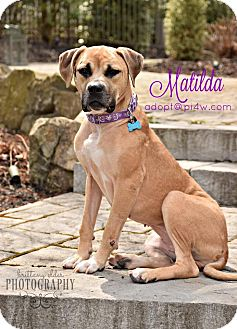 American Staffordshire Terrier/Mastiff Mix Dog for adoption in Cherry Hill, New Jersey - Matilda