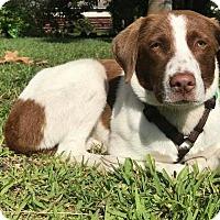 Adopt A Pet :: Scar - Royal Palm Beach, FL