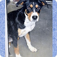 Adopt A Pet :: Greater Swiss Mtn Dog fem X - San Jacinto, CA