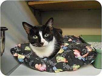 Domestic Shorthair Cat for adoption in New York, New York - Sassy
