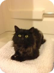 Maine Coon Cat for adoption in Port Republic, Maryland - Sam