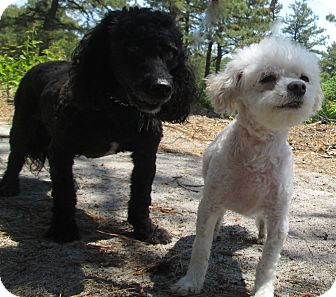 Poodle (Miniature)/Bichon Frise Mix Dog for adoption in Forked River, New Jersey - Moneca & Snowball