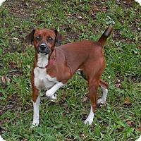 Adopt A Pet :: Socks - Ormond Beach, FL