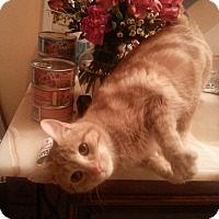 Adopt A Pet :: Ginger - Plainville, MA
