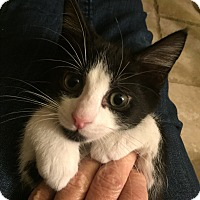 Adopt A Pet :: Charlie (bottle fed) - Sterling Hgts, MI