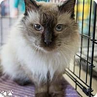 Adopt A Pet :: Priscilla - Merrifield, VA