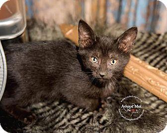 Domestic Shorthair Cat for adoption in Cincinnati, Ohio - Klaus