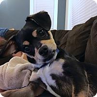 Adopt A Pet :: Opie - San Francisco, CA