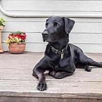 Labrador Retriever Mix Dog for adoption in Pt. Richmond, California - ODY (FORMERLY NICKY)