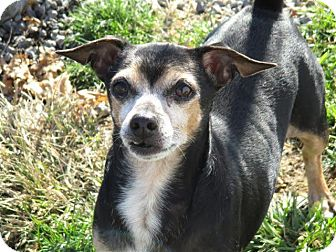 Chihuahua/Miniature Pinscher Mix Dog for adoption in Liberty Center, Ohio - Bubba Ray