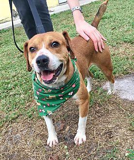 Beagle Mix Dog for adoption in Boca Raton, Florida - Gizmo