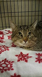 Domestic Shorthair Cat for adoption in mishawaka, Indiana - Yellow