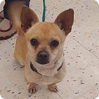 Adopt A Pet :: Dug - Las Vegas, NV