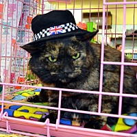 Domestic Shorthair Cat for adoption in Taftville, Connecticut - Emma