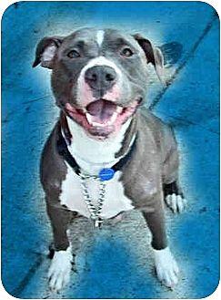 American Pit Bull Terrier/American Pit Bull Terrier Mix Dog for adoption in Bellflower, California - Dulci