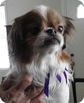 Japanese Chin Dog for adoption in Youngstown, Ohio - Bubba ~ Adoption Pending