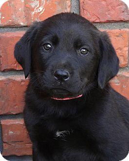 Labrador Retriever/Rottweiler Mix Puppy for adoption in Westport, Connecticut - *Jilly - PENDING