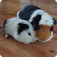 Adopt A Pet :: Bogart & Porky - Brooklyn Park, MN