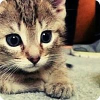 Adopt A Pet :: Uniquely colored kitten - Kirkwood, DE