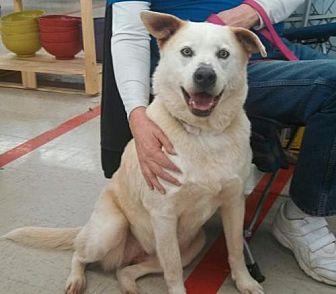 Labrador Retriever/German Shepherd Dog Mix Dog for adoption in Laconia, Indiana - Karma