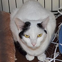 Domestic Shorthair Cat for adoption in Trenton, Missouri - Moochy