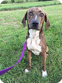 Pit Bull Terrier/Hound (Unknown Type) Mix Dog for adoption in Maryville, Missouri - Zoey