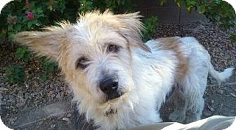 Cairn Terrier Mix Dog for adoption in Gilbert, Arizona - Olaf
