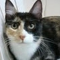Domestic Shorthair Kitten for adoption in Miami, Florida - Summer