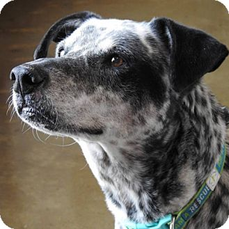 Dalmatian Mix Dog for adoption in Green Bay, Wisconsin - Archie