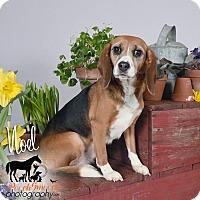Adopt A Pet :: Noel - Yardley, PA