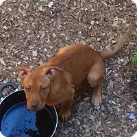 Adopt A Pet :: Deborah - Spring Valley, NY
