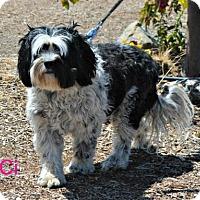 Adopt A Pet :: Ci Ci - Yreka, CA