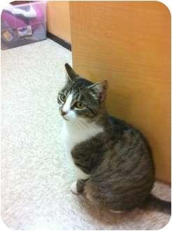 Domestic Shorthair Cat for adoption in Modesto, California - Bandy