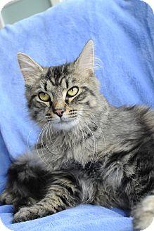 Maine Coon Cat for adoption in Columbus, Ohio - Versace