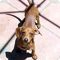 Adopt A Pet :: Copper - San Jose, CA
