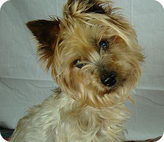 Silky Terrier Dog for adoption in Rosalia, Kansas - Pi Wackett