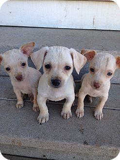 Chihuahua Mix Puppy for adoption in Tehachapi, California - Joey, Kinky, Gumby