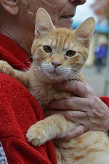 American Shorthair Kitten for adoption in Vacaville, California - Morris