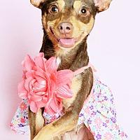 Miniature Pinscher/Chihuahua Mix Dog for adoption in Phoenix, Arizona - Padmé