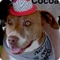 American Pit Bull Terrier Dog for adoption in Tahlequah, Oklahoma - Cocoa